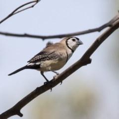 Taeniopygia bichenovii (Double-barred Finch) at Hawker, ACT - 19 Jan 2019 by Alison Milton