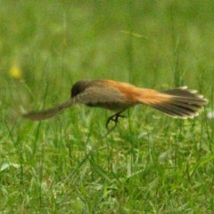 Rhipidura rufifrons (Rufous Fantail) at FS Private Property - 20 Jan 2019 by Stewart