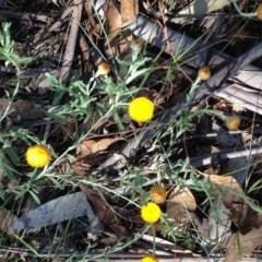 Coronidium gunnianum (Pale Everlasting) at Winifred, NSW - 20 Jan 2019 by Katarina