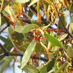 Muellerina eucalyptoides (Creeping Mistletoe) at Mount Taylor - 18 Jan 2019 by MatthewFrawley