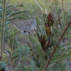 Jalmenus icilius (Amethyst Hairstreak) at Mount Painter - 15 Jan 2019 by CathB