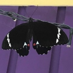Papilio aegeus (Orchard Swallowtail, Large Citrus Butterfly) at Basin View, NSW - 20 Jan 2019 by Trishwildfire