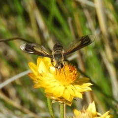 Comptosia sp. (genus) (Unidentified Comptosia bee fly) at Mount Taylor - 18 Jan 2019 by MatthewFrawley