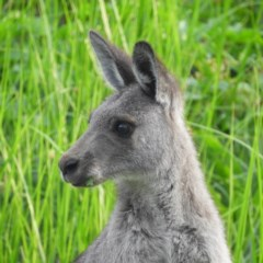 Macropus giganteus (Eastern Grey Kangaroo) at Jerrabomberra Wetlands - 20 Jan 2019 by MatthewFrawley