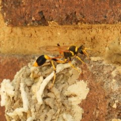 Sceliphron laetum (Common mud dauber wasp) at Kambah, ACT - 21 Jan 2019 by MatthewFrawley