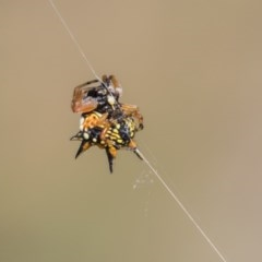 Austracantha minax (Christmas Spider, Jewel Spider) at The Pinnacle - 19 Jan 2019 by Alison Milton