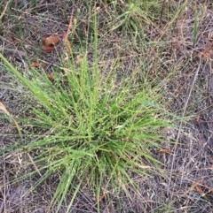 Panicum effusum (Hairy Panic Grass) at Hughes Garran Woodland - 19 Jan 2019 by ruthkerruish