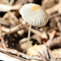 Coprinellus etc. (An Inkcap) at Spence, ACT - 8 Jan 2019 by Judith Roach