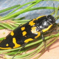 Cyrioides imperialis (Banksia jewel beetle) at Bugong National Park - 20 Jan 2019 by Harrisi