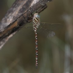 Austroaeschna unicornis (Unicorn Darner) at Namadgi National Park - 10 Jan 2019 by RFYank