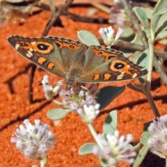 Junonia villida (Meadow Argus) at ANBG - 20 Jan 2019 by RodDeb