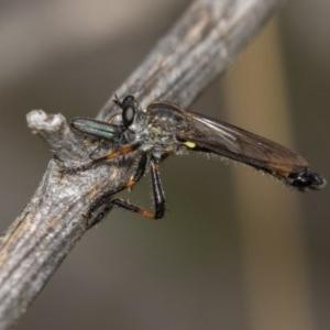 Dasypogoninae sp. (subfamily) at Bimberi Nature Reserve - 11 Jan 2019