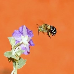 Amegilla (Zonamegilla) asserta (Blue Banded Bee) at ANBG - 20 Jan 2019 by RodDeb