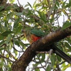 Alisterus scapularis (Australian King-Parrot) at Curtin, ACT - 21 Jan 2019 by tom.tomward@gmail.com