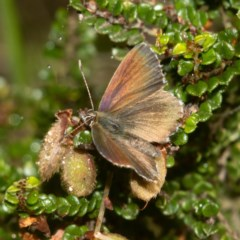 Neolucia agricola (Fringed Heath-blue) at Namadgi National Park - 10 Jan 2019 by RFYank