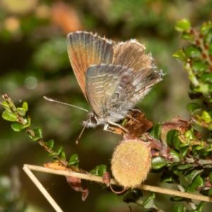 Neolucia agricola at Namadgi National Park - 11 Jan 2019