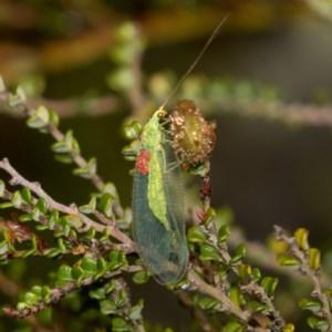Chrysopidae sp. (family) at Namadgi National Park - 11 Jan 2019