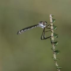 Leptogaster sp. (genus) at Namadgi National Park - 11 Jan 2019