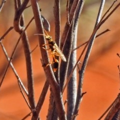 Sceliphron laetum (Common mud dauber wasp) at ANBG - 20 Jan 2019 by RodDeb