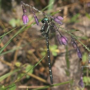 Eusynthemis guttata at Namadgi National Park - 11 Jan 2019