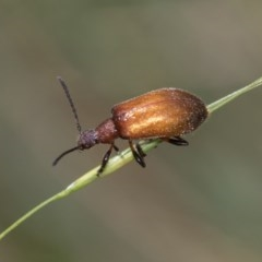 Ecnolagria grandis (Honeybrown beetle) at Namadgi National Park - 11 Jan 2019 by RFYank