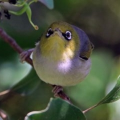 Zosterops lateralis (Silvereye) at ANBG - 20 Jan 2019 by RodDeb
