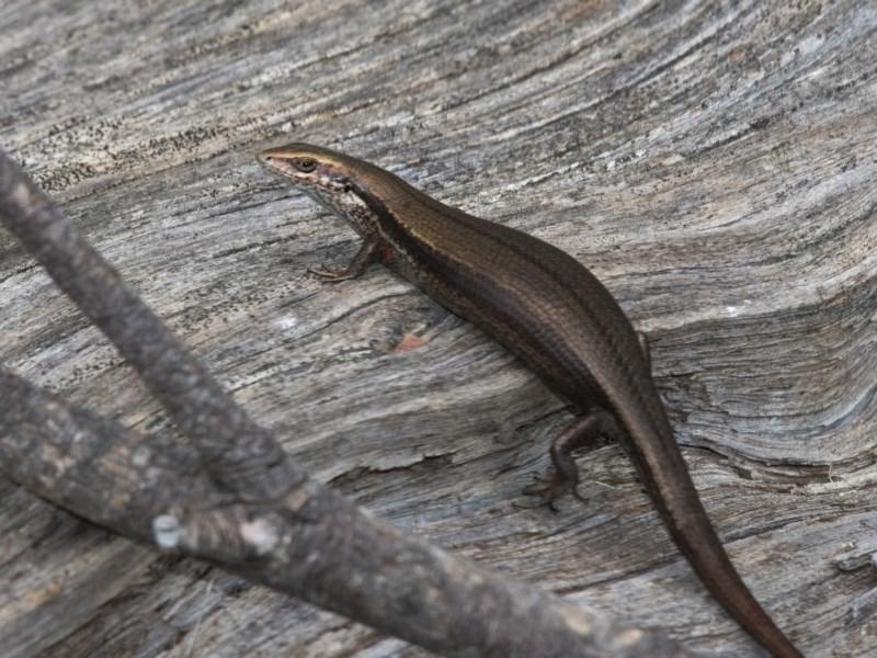 Pseudemoia entrecasteauxii at Bimberi Nature Reserve - 11 Jan 2019
