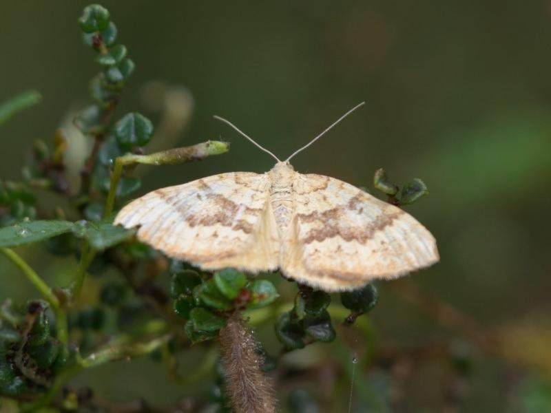 Chrysolarentia correlata at Namadgi National Park - 11 Jan 2019