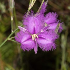 Thysanotus tuberosus subsp. tuberosus (Common Fringe-lily) at Namadgi National Park - 11 Jan 2019 by RFYank