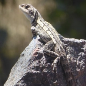 Amphibolurus muricatus at Namadgi National Park - 21 Jan 2019