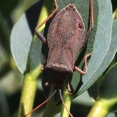Amorbus sp. (genus) (Tip bug) at Ainslie, ACT - 22 Jan 2019 by jbromilow50