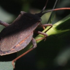 Amorbus sp. (genus) at Ainslie, ACT - 22 Jan 2019