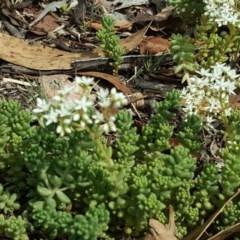 Sedum album (White Stonecrop) at Isaacs Ridge and Nearby - 19 Jan 2019 by Mike