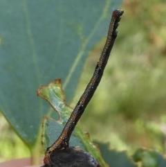 Geometridae (family) IMMATURES (Unidentified IMMATURE Geometer moths) at Namadgi National Park - 10 Jan 2019 by HarveyPerkins
