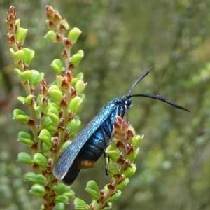 Pollanisus (genus) at Namadgi National Park - 11 Jan 2019