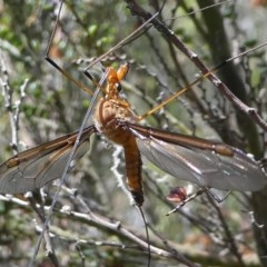 Leptotarsus (Macromastix) costalis (Common Brown Crane Fly) at Namadgi National Park - 11 Jan 2019 by HarveyPerkins