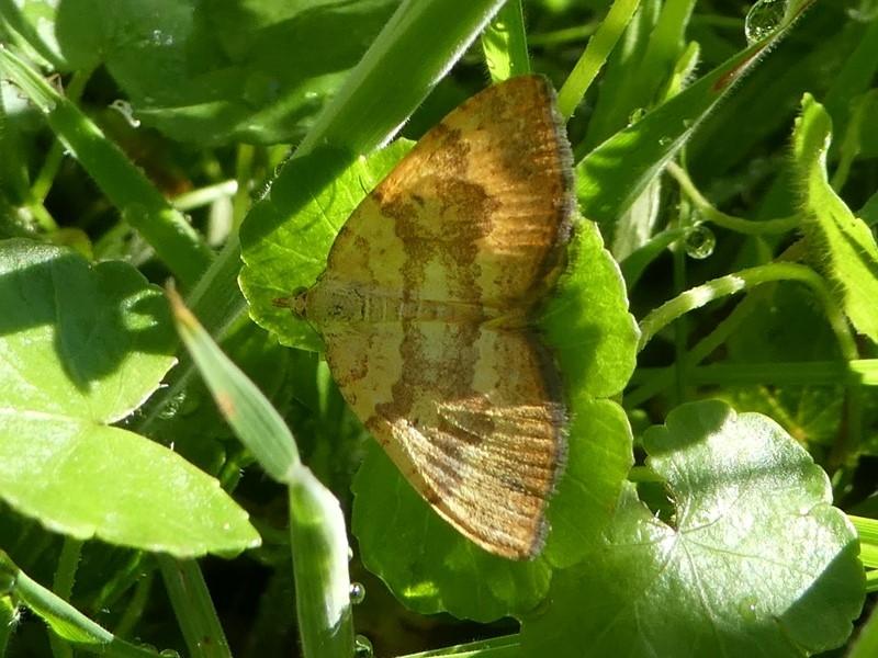 Chrysolarentia correlata at Namadgi National Park - 12 Jan 2019