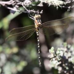 Synthemis eustalacta (Swamp Tigertail) at Namadgi National Park - 11 Jan 2019 by HarveyPerkins