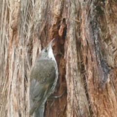 Cormobates leucophaea (White-throated Treecreeper) at Morton, NSW - 8 Jan 2019 by vivdavo
