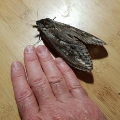 Endoxyla encalypti (Wattle Goat Moth) at Lyons, ACT - 21 Jan 2019 by John.Butcher