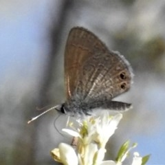 Nacaduba biocellata (Two-spotted Line-Blue) at Tuggeranong DC, ACT - 22 Jan 2019 by JohnBundock
