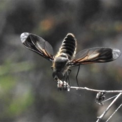 Comptosia sp. (genus) (Unidentified Comptosia bee fly) at Mcquoids Hill - 23 Jan 2019 by JohnBundock