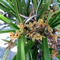 Cymbidium suave (Snake Orchid, Boat Lip Orchid) at Conjola, NSW - 11 Nov 2018 by Margieras