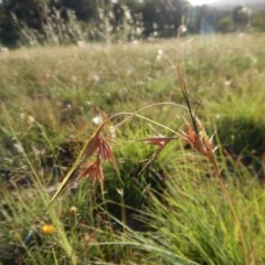 Themeda triandra (Kangaroo Grass) at Mount Painter - 15 Jan 2019 by CathB