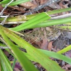 Lomandra longifolia (Spinyhead Matrush) at Conjola, NSW - 16 Oct 2018 by Margieras