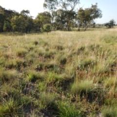 Poa labillardierei (Common Tussock Grass, River Tussock Grass) at Mount Painter - 15 Jan 2019 by CathB
