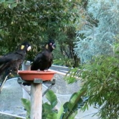 Calyptorhynchus funereus (Yellow-tailed Black-cockatoo) at Conjola, NSW - 30 Jan 2019 by Margieras