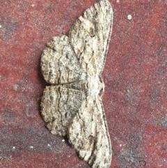 Ectropis excursaria (Common Bark Moth) at Watson, ACT - 20 Dec 2017 by jackQ