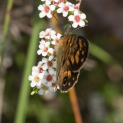 Heteronympha cordace (Bright-eyed Brown) at Namadgi National Park - 11 Jan 2019 by RFYank
