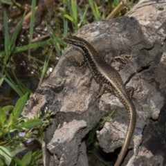 Eulamprus heatwolei (Yellow-bellied Water-skink) at Paddys River, ACT - 12 Jan 2019 by RFYank